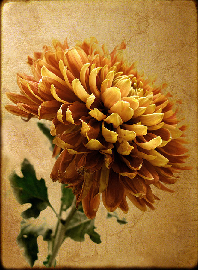 Flowers Photograph - Golden Mum by Jessica Jenney