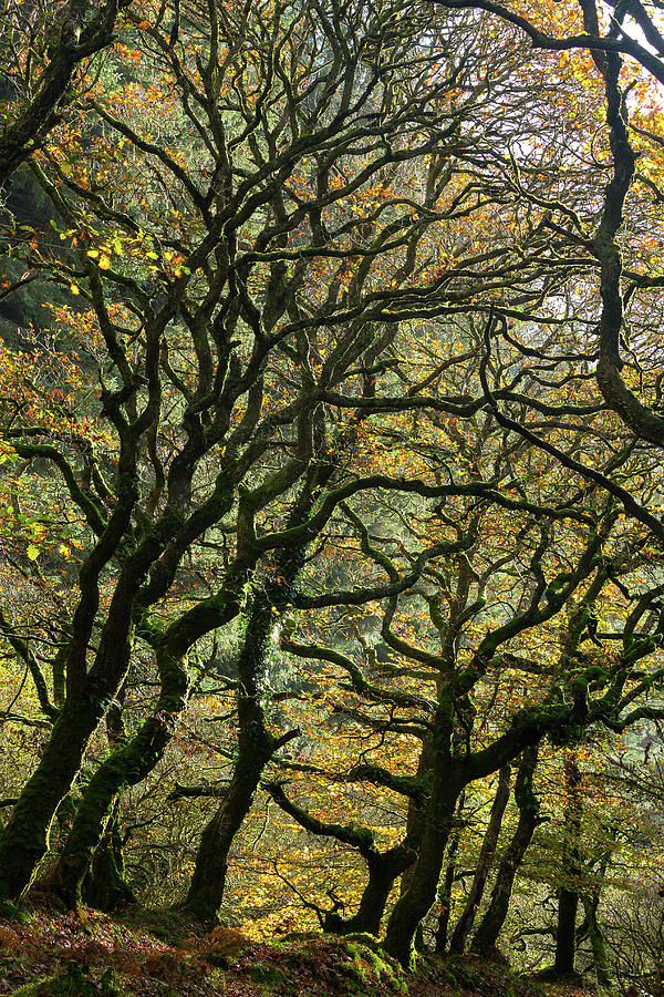 Golden Oaks by Andy Myatt