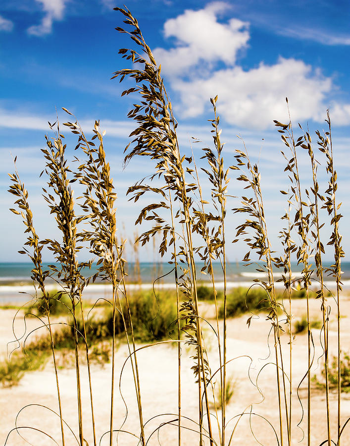 Sea Oats Photograph - Golden Oats by Anthony Lauby