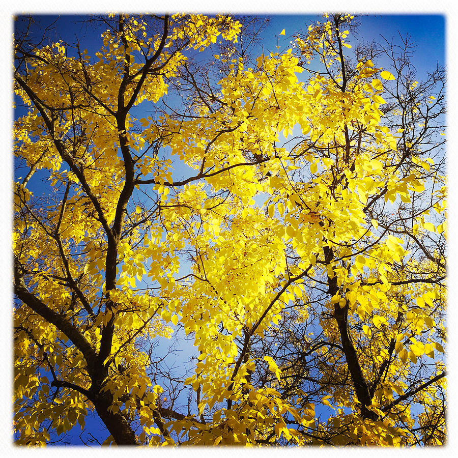 Tree Photograph - Golden October Tree In Fall by Matthias Hauser