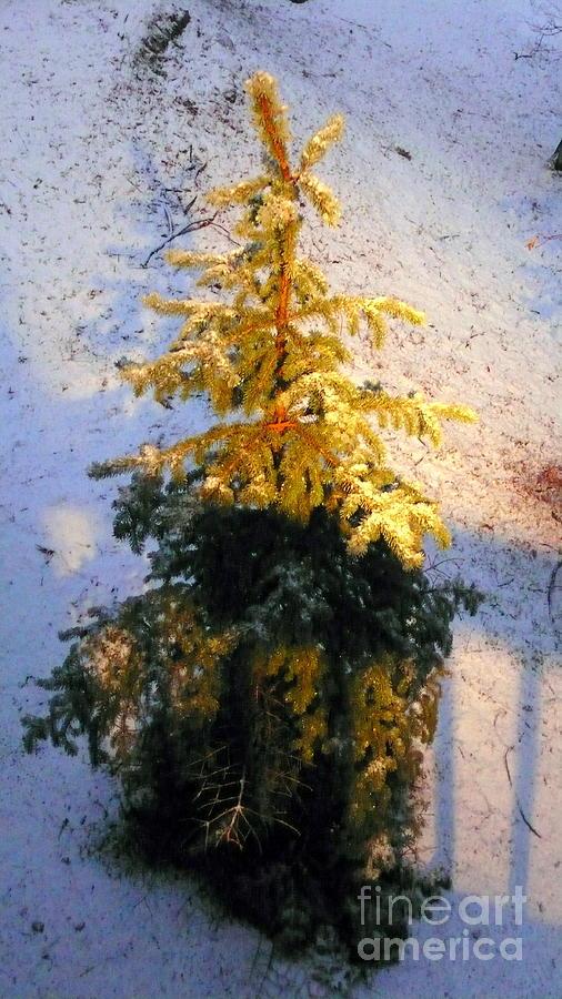 golden pine tree photograph by misha ha baka