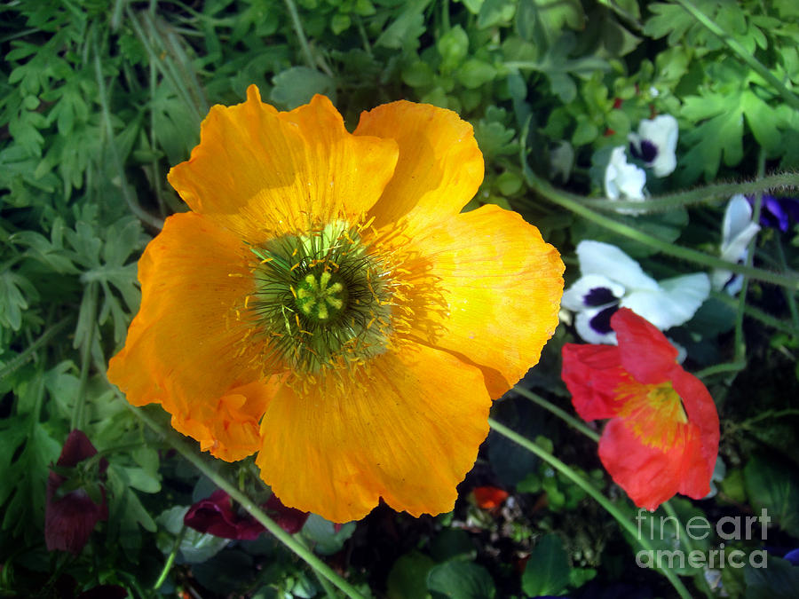 Golden Poppy Flower With 5 Petals Photograph By Sofia Metal Queen