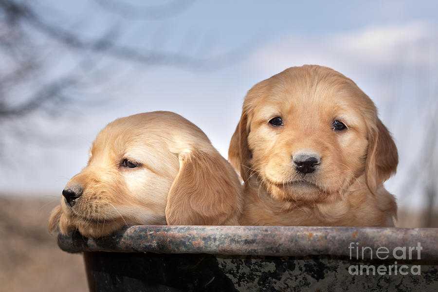 Dogs Photograph - Golden Puppies by Cindy Singleton