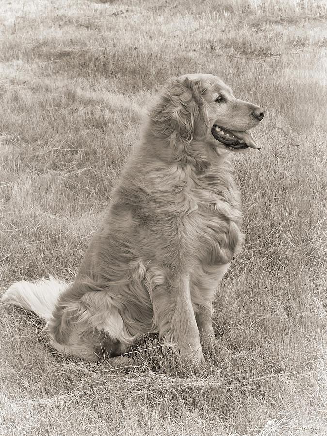 Golden Retriever Photograph - Golden Retriever Dog Sepia by Jennie Marie Schell