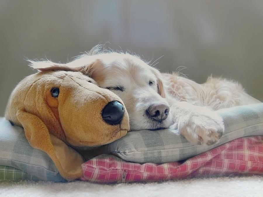 Golden Retriever Photograph - Golden Retriever Dog Sleeping With My Friend by Jennie Marie Schell