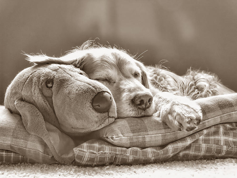 Golden Retriever Photograph - Golden Retriever Dog Sleeping With My Friend Sepia by Jennie Marie Schell