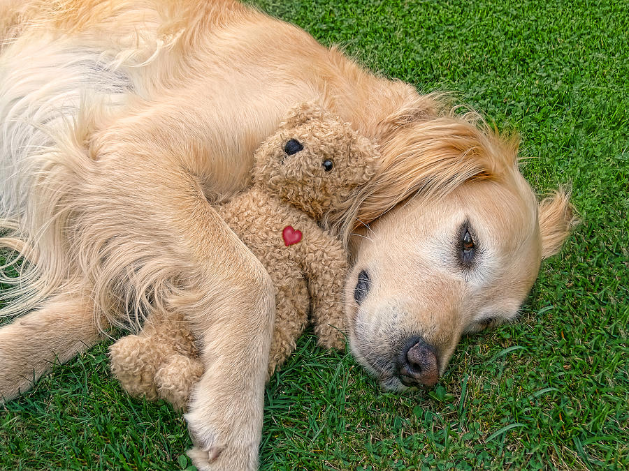 Golden Retriever Photograph - Golden Retriever Dog Teddy Bear Love by Jennie Marie Schell