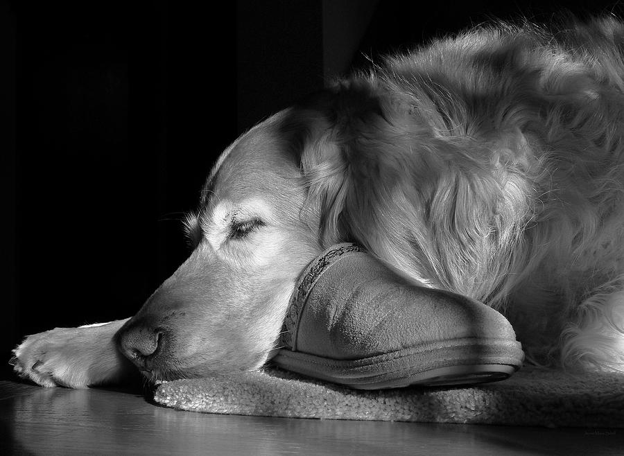 Golden Retriever Photograph - Golden Retriever Dog With Masters Slipper Black And White by Jennie Marie Schell