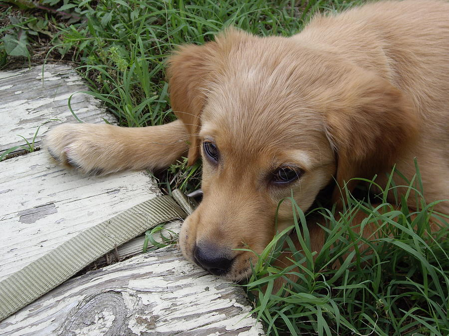 Puppy Photograph - Golden Retriever by Jean Haynes