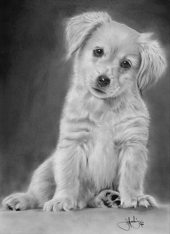 golden retriever puppy drawing drawing by john harding