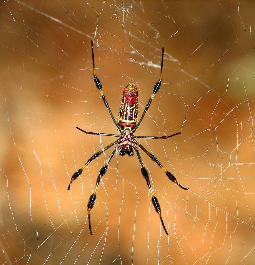 Spider Photograph - Golden Silk Spider 3 by J M Farris Photography