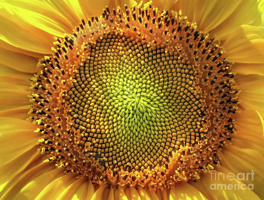 Golden Spiral Seed Arrangement Photograph