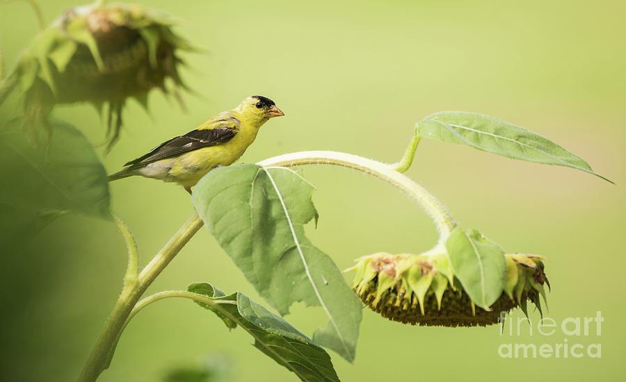 Golden Sunflower Photograph by Heather Hubbard