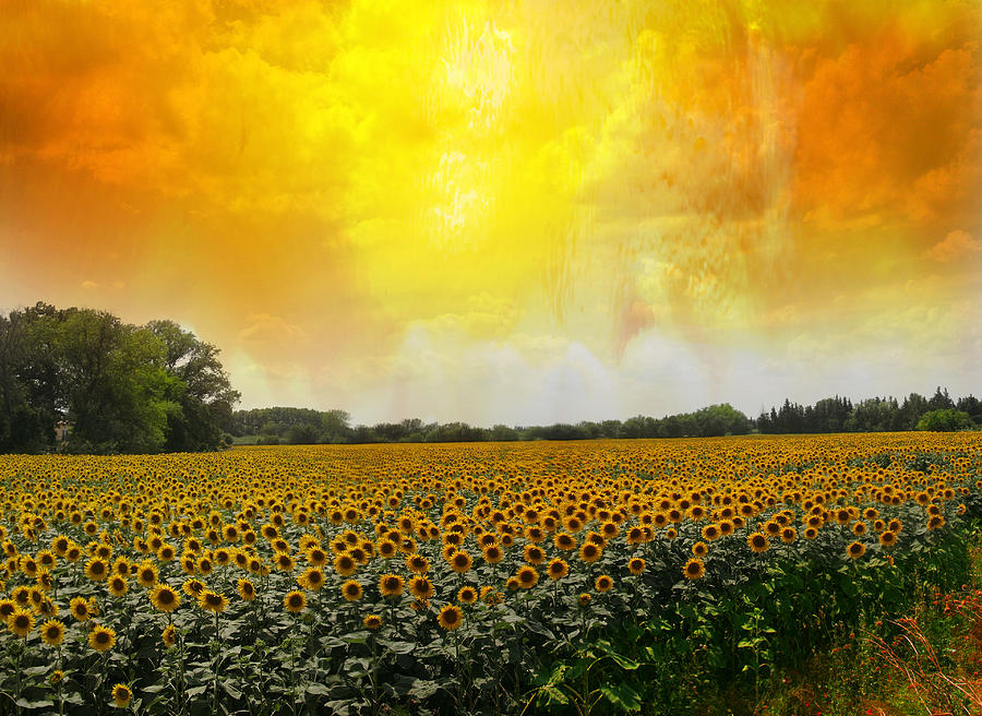 Sunflowers Photograph - Golden Sunflowers Of Nimes by Melvin Kearney