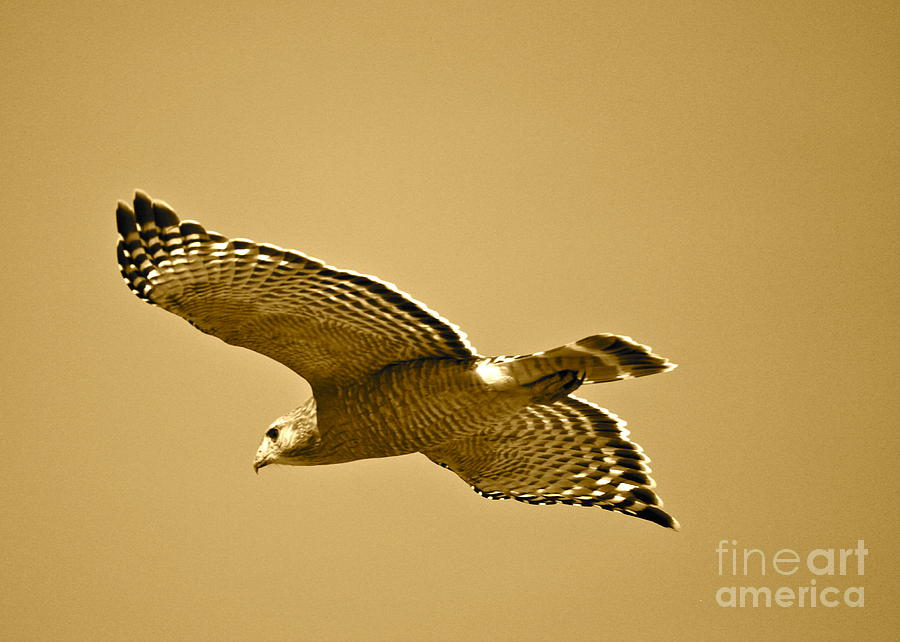 Golden Photograph - Golden Sunlight On Hawk by Carol Groenen