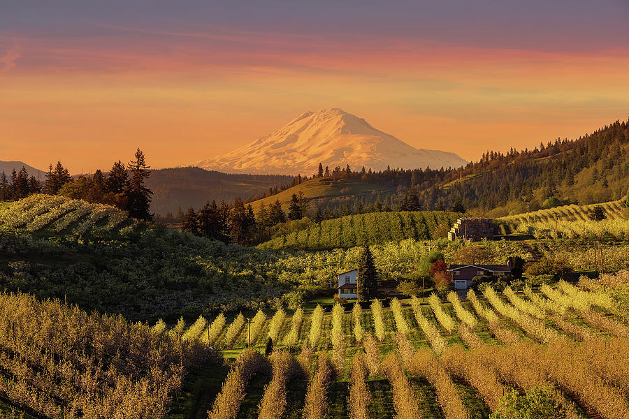 Hood River Photograph - Golden Sunset Over Hood River Pear Orchard by David Gn