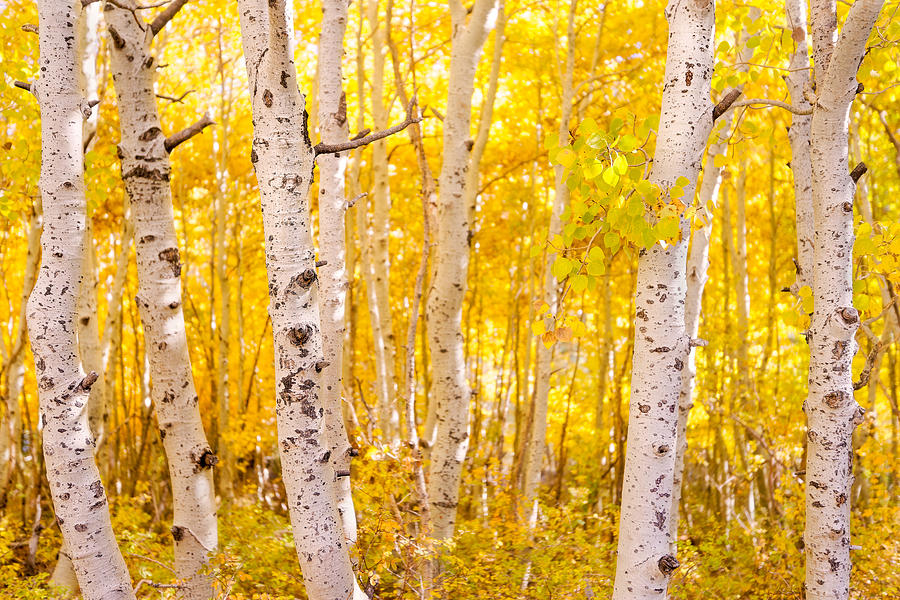 June Lake - Aspen Trees - Golden Trees by Francesco Emanuele Carucci