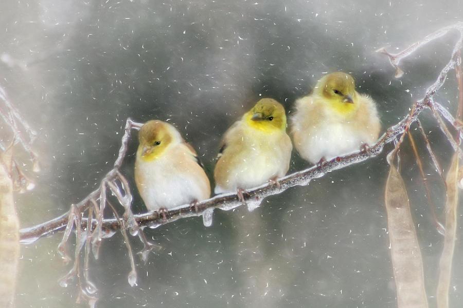 Bird Photograph - Golden Trio by Lori Deiter