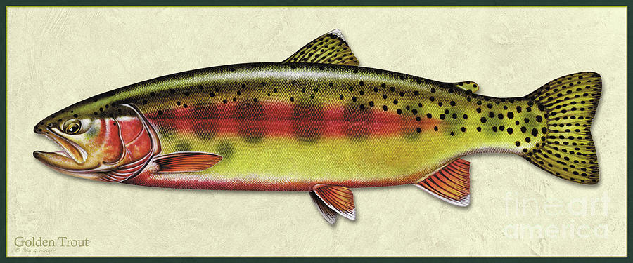 Golden trout ID by Jon Q Wright