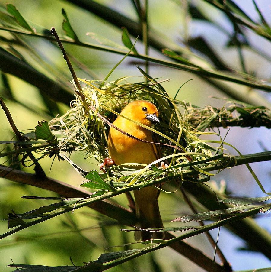 Golden Weaver Bird Building A Nest Photograph By Anita Hiltz