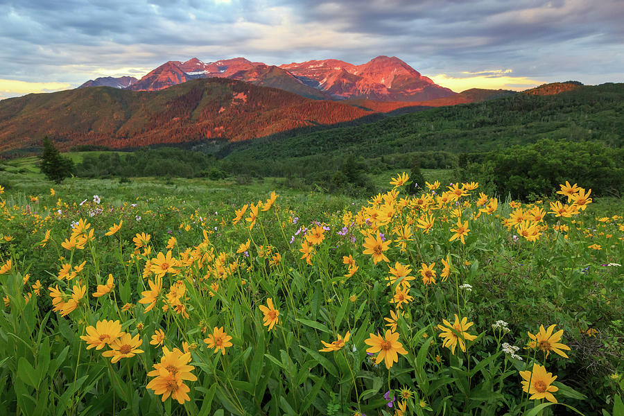 Golden Wildflowers In The Wasatch Back. Photograph