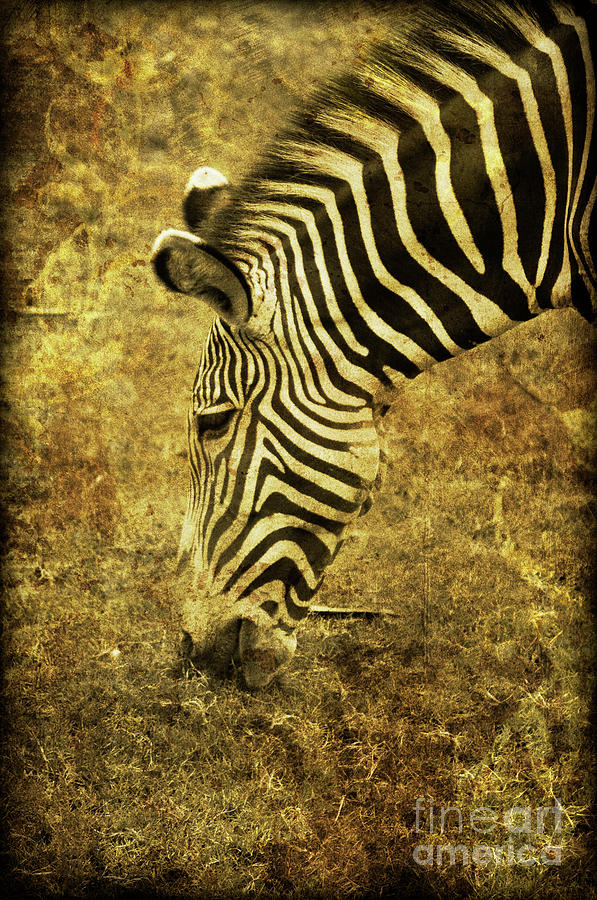 Zebra Photograph - Golden Zebra  by Saija  Lehtonen