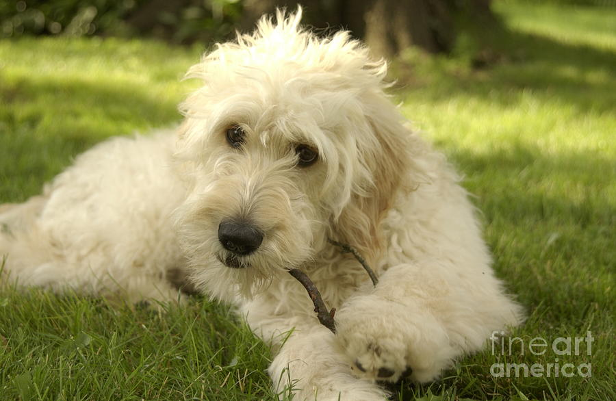 Dog Photograph - Goldendoodle Puppy And Stick by Anna Lisa Yoder