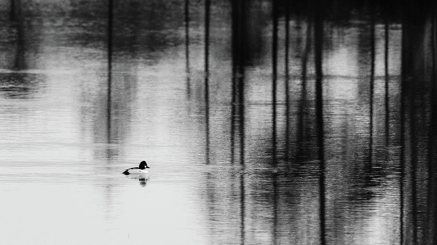 Goldeneye Photograph - Goldeneye in lake by Kolbein Svensson