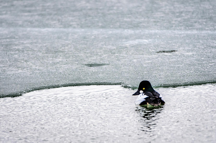 Goldeneye on Ice's Edge by Steven Santamour