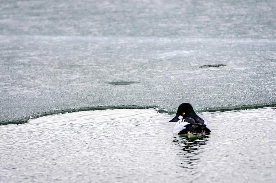 Bird Photograph - Goldeneye On Ices Edge by Steven Santamour