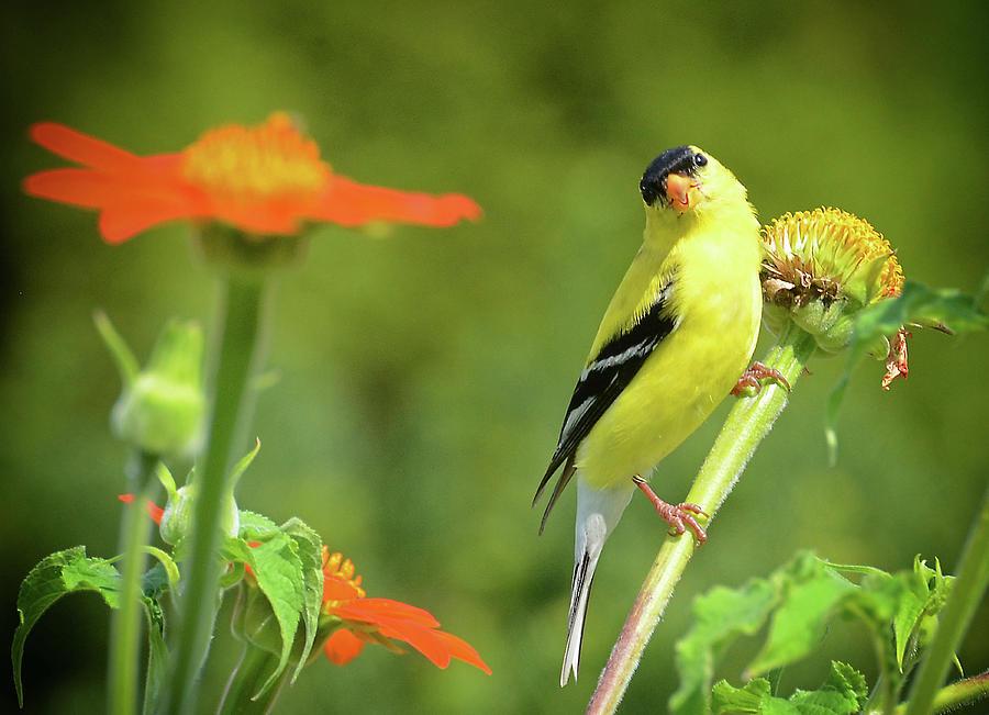 Goldfinch Feeding in a Garden by Rodney Campbell