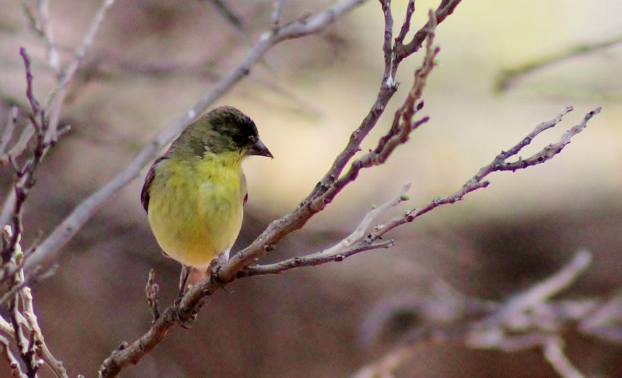 Bird Photograph - Goldfinch On Branch 032814a by Edward Dobosh