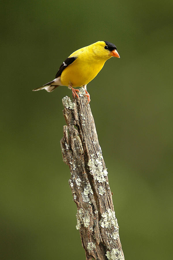American Goldfinch Photograph - Goldfinch On Lichen Post by Alan Lenk