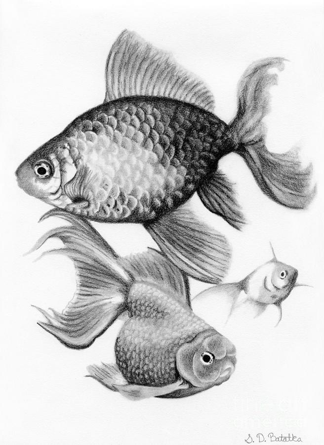 goldfish drawing goldfish by sarah batalka