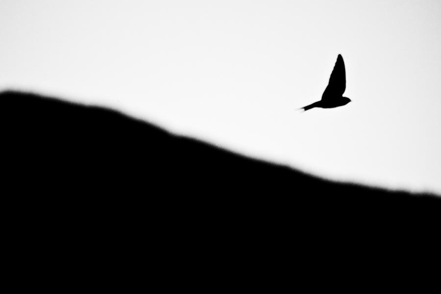 Animal Photograph - Golondrina by Felix M Cobos