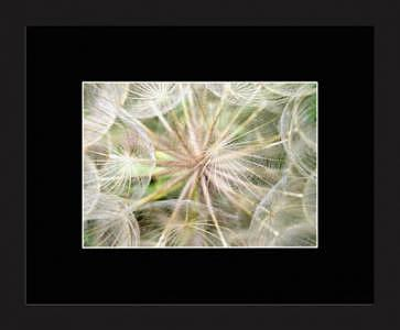 Goats Beard Photograph - Gone To Seed by Brooke Chao