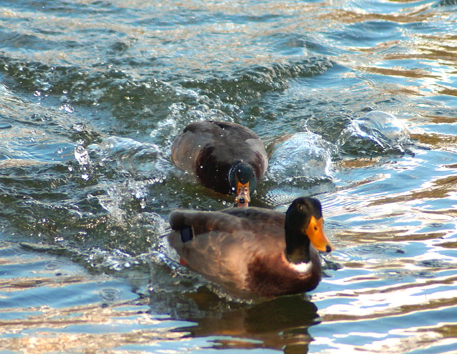 Duck Photograph - Gonna Getcha by Debbie May