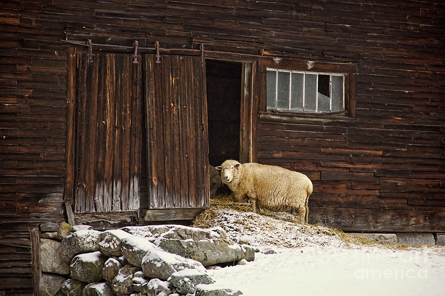 Sheep Photograph - Good Morning by Diana Nault