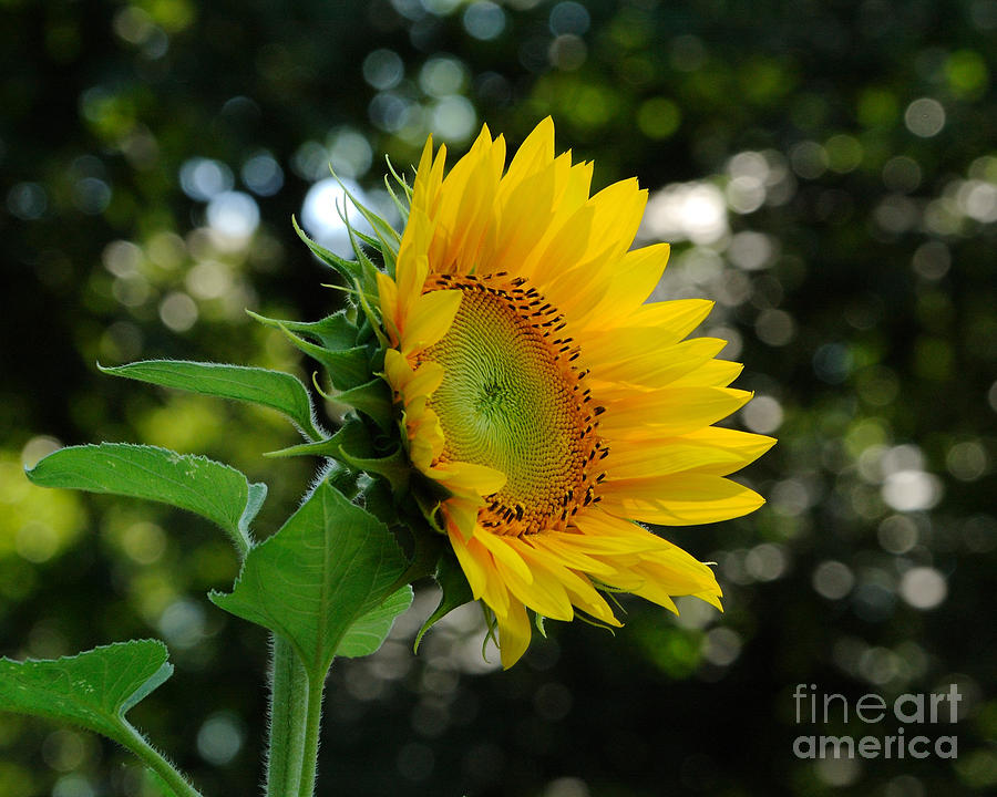 Sunflower Photograph - Good Morning by Edward Sobuta