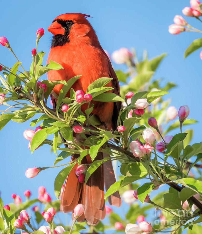 Bird Photograph - Good Morning Mr Cardinal  by Ricky L Jones