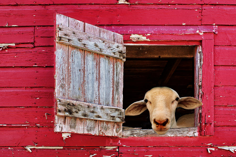 Farm Animals Photograph - Good Morning by Nikolyn McDonald