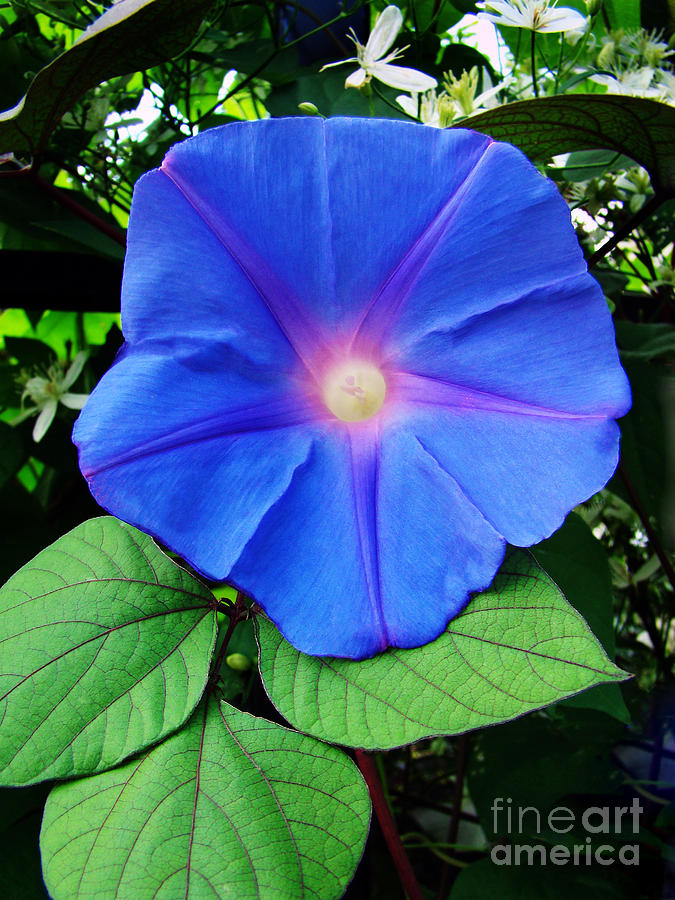 Morning Glory Photograph - Good Morning by Sue Melvin