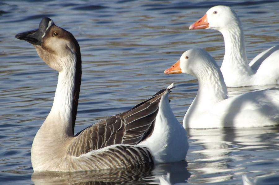 Goose And Gander Photograph