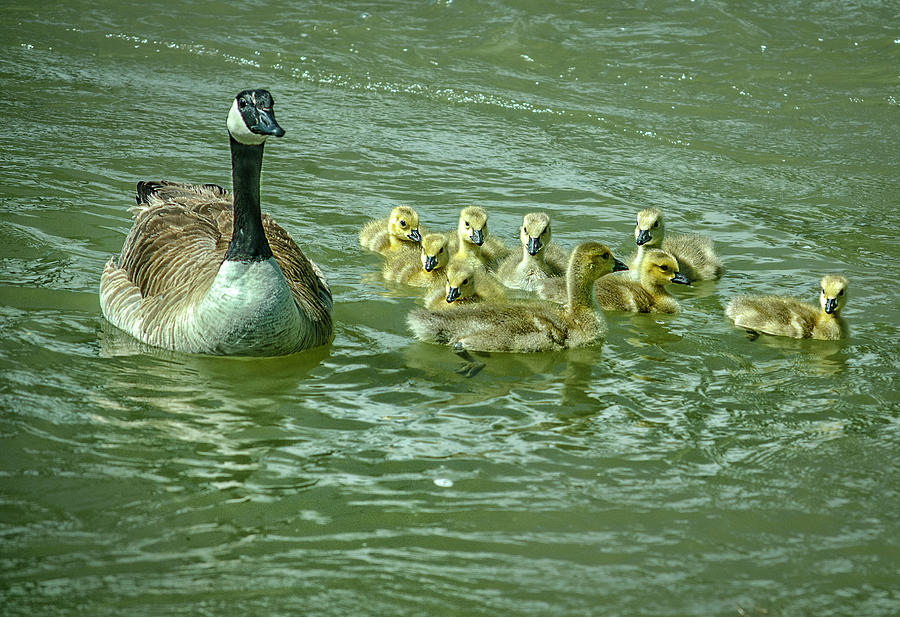 Nature Photograph - Goose And Goslings by Rick Mosher