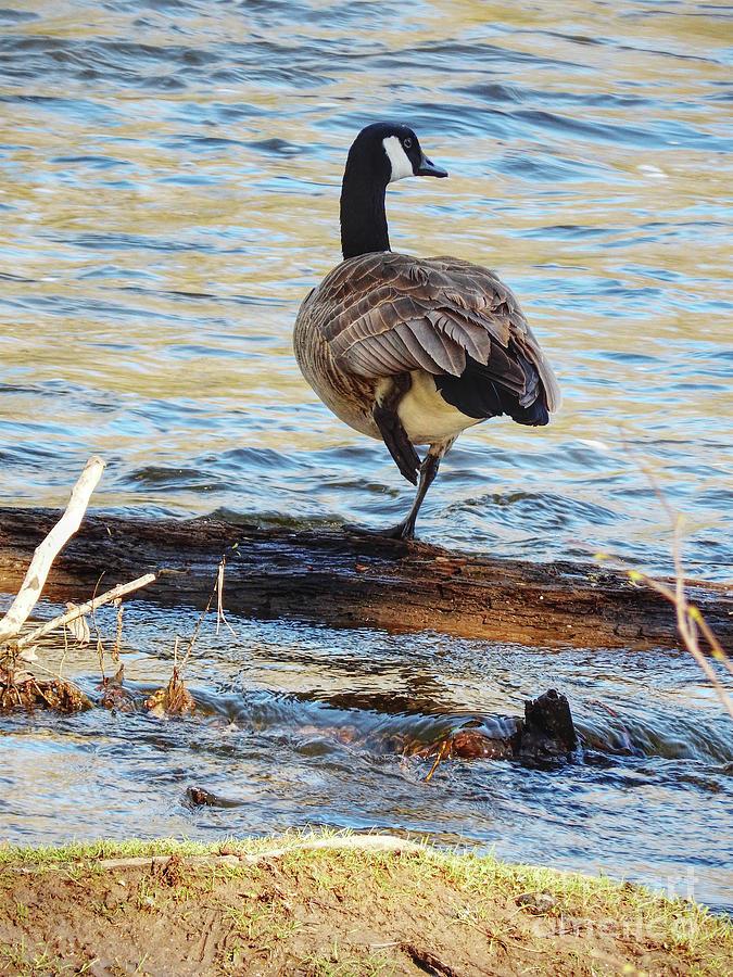 Nichols Arboretum Photograph - Goose By River by Phil Perkins