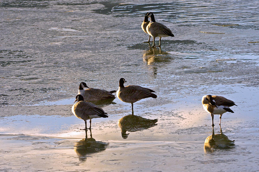 Goose Ice Refections Photograph by James Steele