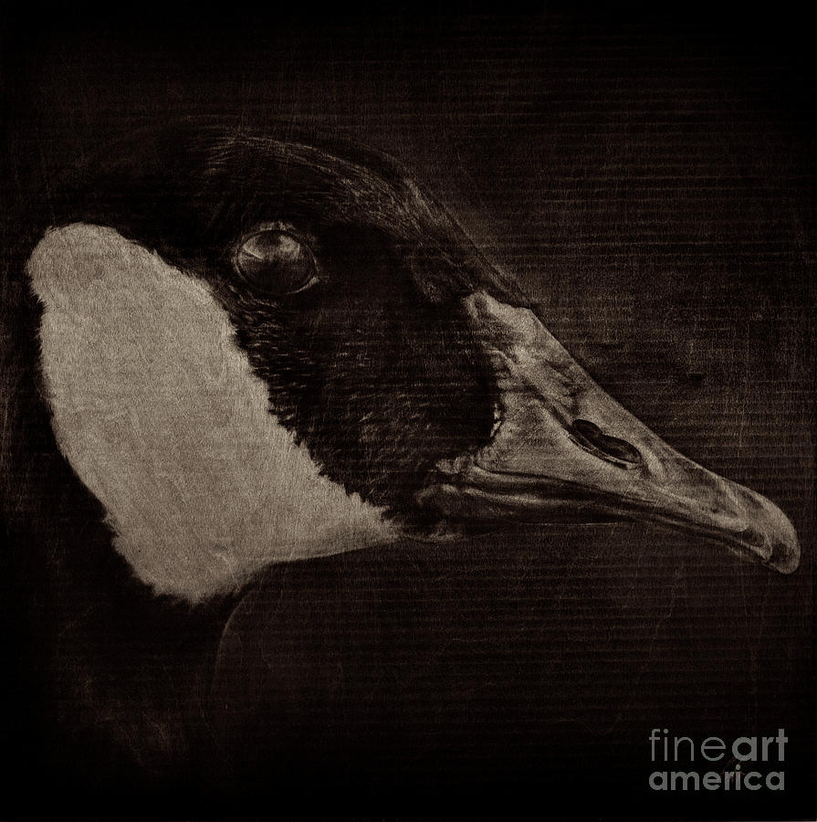 Canada Goose Drawing - Goose - warm cast by Heather Beauchesne