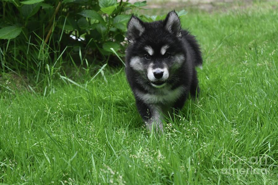 Dog Photograph - Gorgeous Alusky Puppy Dog Creeping Through Grass by DejaVu Designs