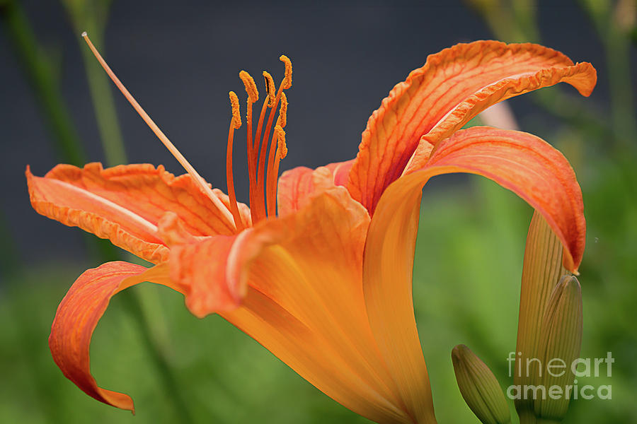 Gorgeous Day Lily Photograph