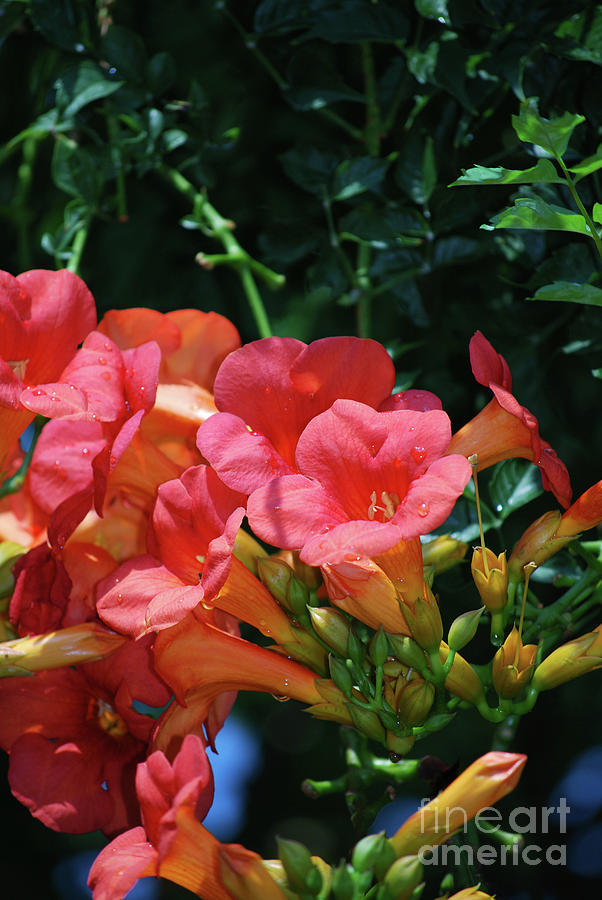 Gorgeous Flowering Pink Trumpet Vine Flowers Photograph By